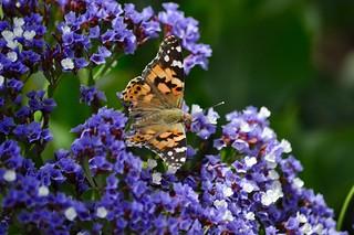 Mariposa en flor....