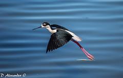 seaduck(0.0), animal(1.0), wing(1.0), fauna(1.0), stilt(1.0), shorebird(1.0), beak(1.0), bird(1.0),