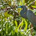 Tri-Colored Heron by jwkeith