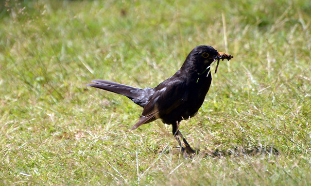Blackbird collecting food  (33)