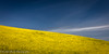 Mustard and Blue Sky