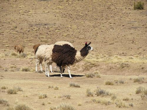 Le Sud Lipez: un lama bicolore
