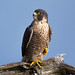 Female Peregrine Falcon by Mitch Vanbeekum Photography