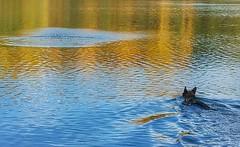 Chaka swims! #autumnglory #dogsofinstagram #dogsswimming #germanshepherdsofinstagram #germanshepherd #gsd