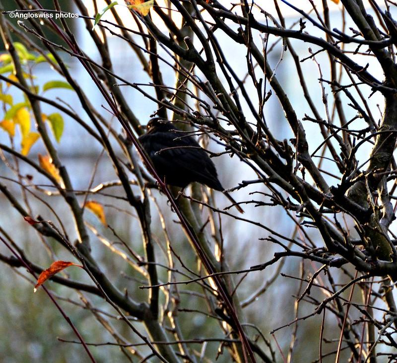Blackbird 90