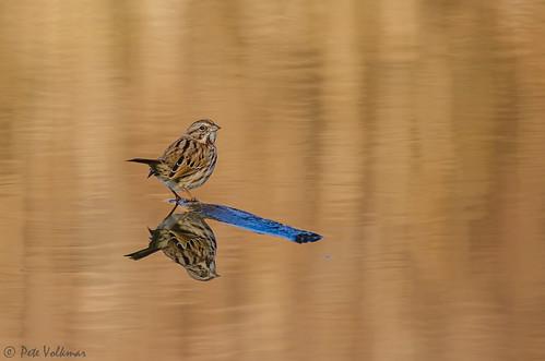 autumn light reflection bird nature water gold golden newjersey nikon unitedstates wildlife sparrow palmyra songsparrow palmyracovenaturepark