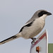 Loggerhead shrike by Up Nort
