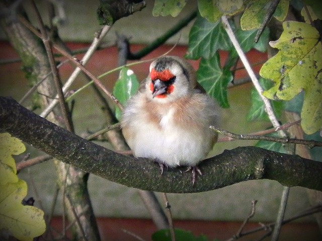 A fluffed up Goldfinch