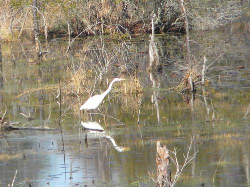 birds wildlife parks egrets