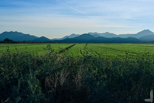 field crop soy