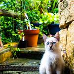 Blu-eyes Meow [ My IG: instagram.com/jonathan.leung_ ]
