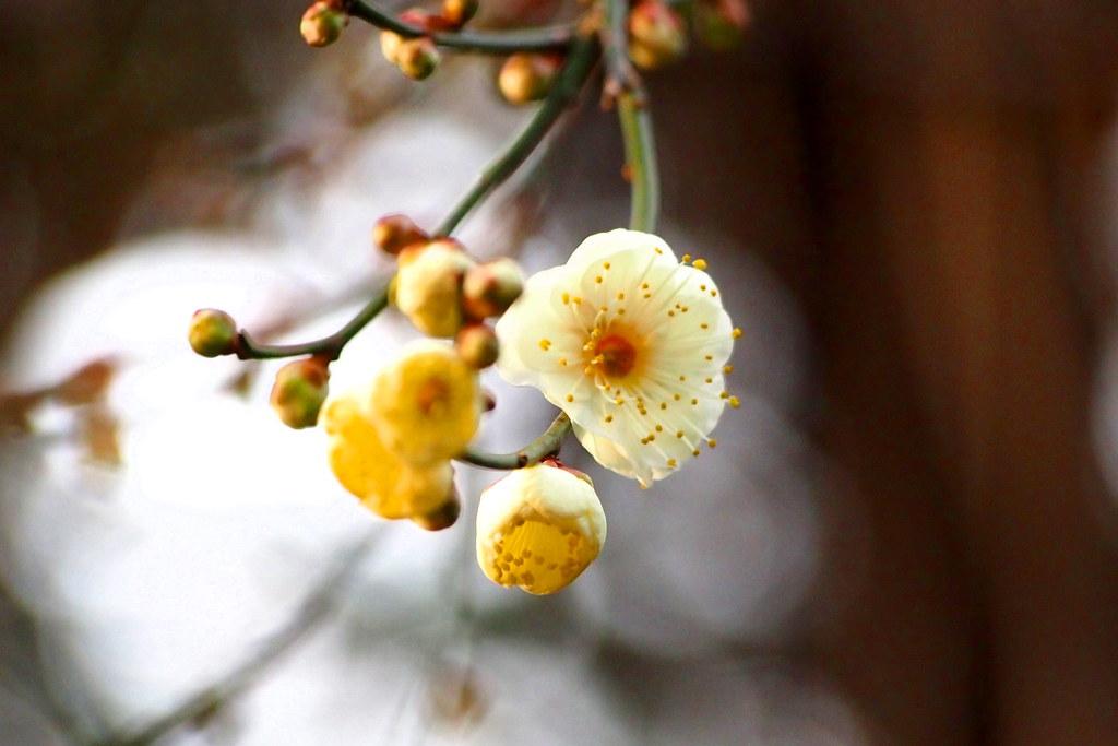 梅 / Prunus mume
