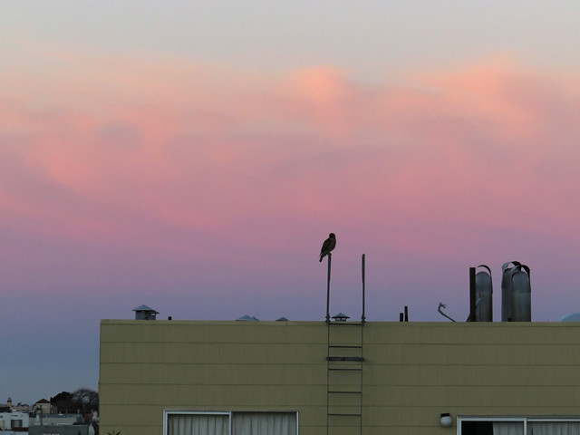 Hawk on a neighbor's roof at sunset; The Sunset, San Francisco (2015)