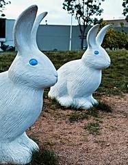 blue-eyed rabbits