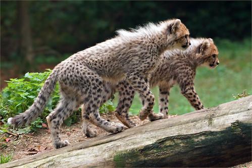 Cheetah Cubs on adventure