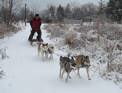 dog, winter, vehicle, snow, pet, mushing, dog sled, sled dog racing,