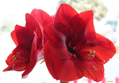 Amaryllis Dez. Jan. 2014/15