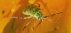 Tarnished Plant Bug (Lygus lineolaris) nymph; Mount Rainier, PGC, Maryland; July 30, 2014