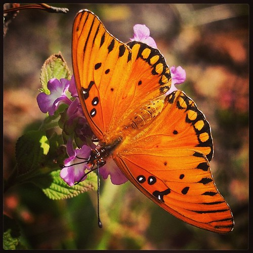 Gulf Fritillary Butterfly In My Garden 2015 #butterfly #nature #outdoors #garden #insect #closeup