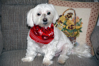 Picture Of Lucky The Maltese Dog Taken After Grooming. Photo Taken Sunday February 1, 2015