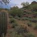 Juvenile Saguaro