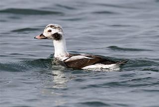 Clangula hyemalis ♂ (Long-tailed Duck) 1st Winter