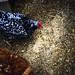Chickens & Grain