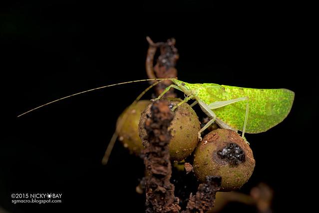 Katydid (Tettigoniidae) - DSC_3770