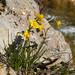 Narcissus assoanus, Gorges de Galamus