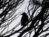the raven. South Coast NSW Australia (P6291165)