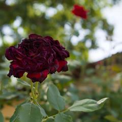 Rippled Rose