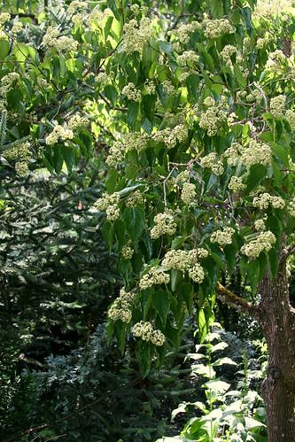 10_fragrant_tree_flowers