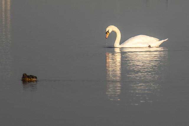 DSC_2879 Swan