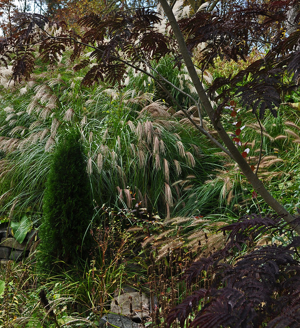 Albizia 'Summer Chocolate' with Grasses and Arborvitae