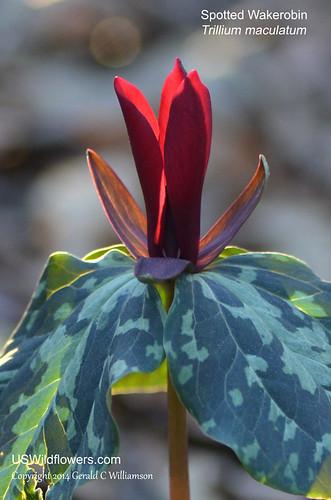 Spotted Wakerobin, Spotted Trillium - Trillium maculatum