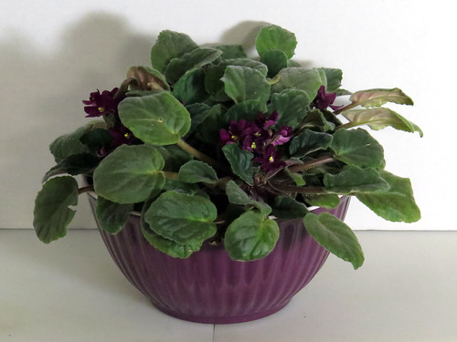 African Violets in a Melamine Bowl with SIP plumbing