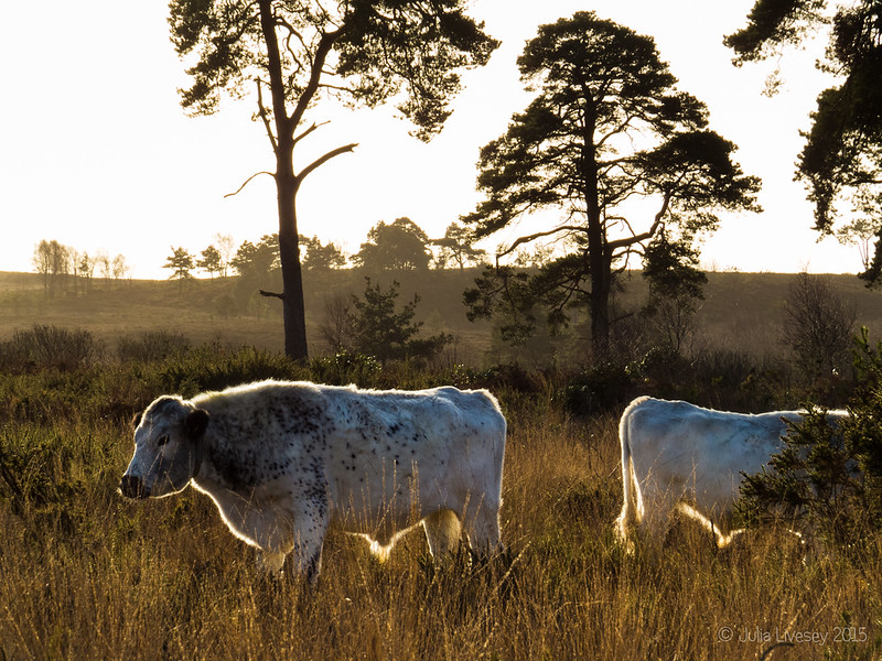 Cows in the winter sunshine