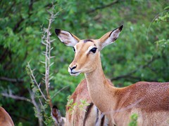 white-tailed deer(0.0), pronghorn(0.0), bongo(0.0), animal(1.0), antelope(1.0), deer(1.0), fauna(1.0), impala(1.0), gazelle(1.0), wildlife(1.0),