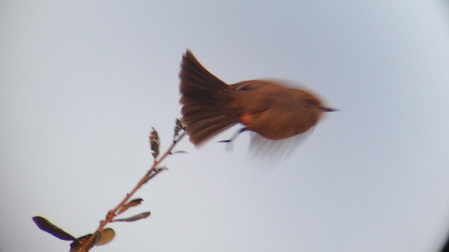 Vermilion Flycatcher Miller County GA 011015 6 299