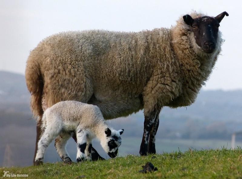 P1110213 - Lamb