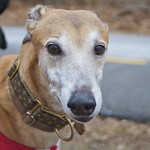 Greyhound Adventures at Spy Pond, Arlington MA, Jan 18th 2015