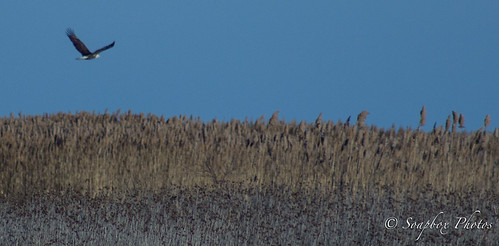 """Bald Eagle Over the Edwin B. Forsythe National Wildlife Refuge in Oceanville, NJ"""