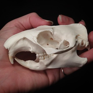 BONELUST PERSONAL COLLECTION: Another new rodent skull addition to my collection. Woodchuck (Marmota monax) AKA groundhog or marmot