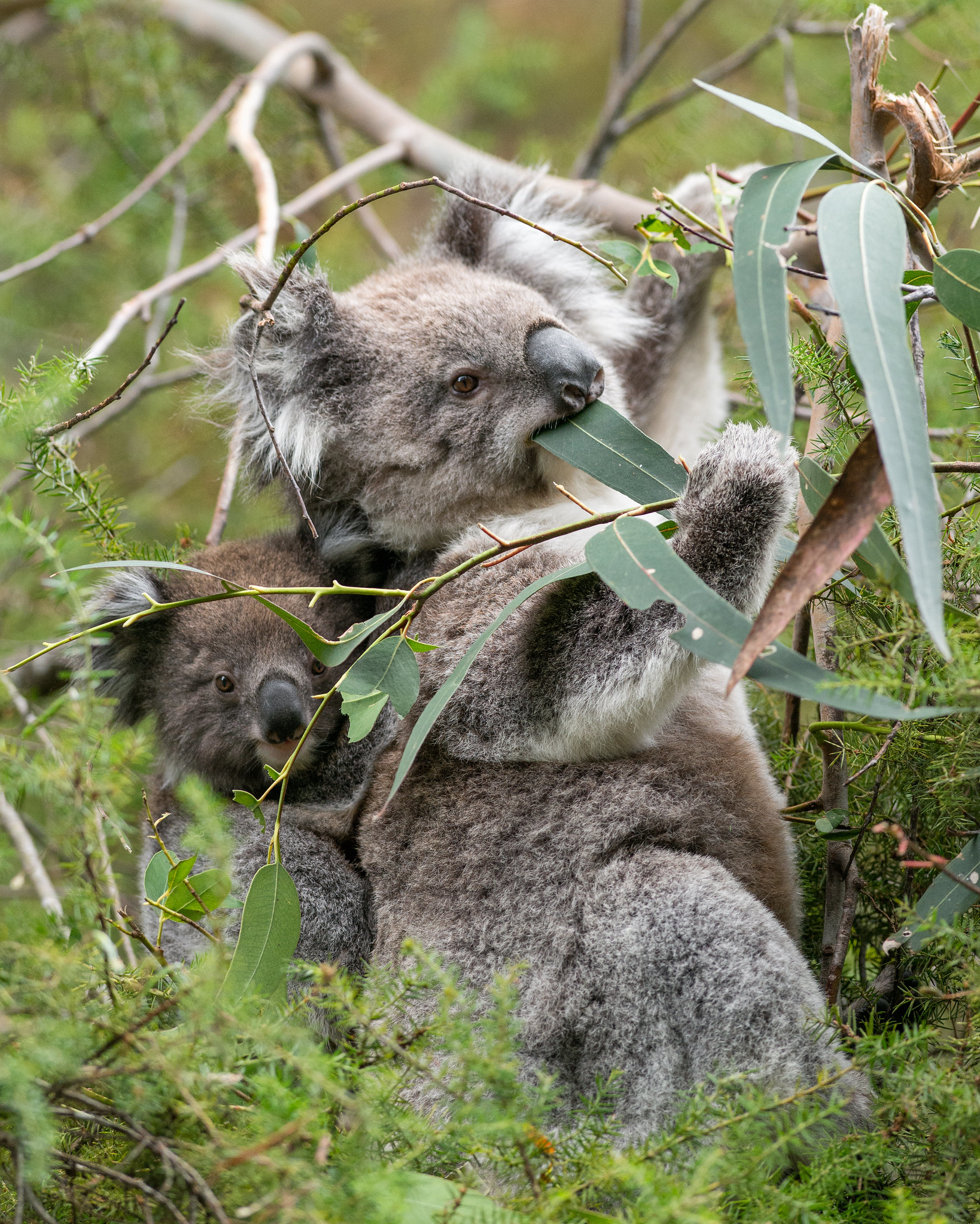 Koala Mother with Joey