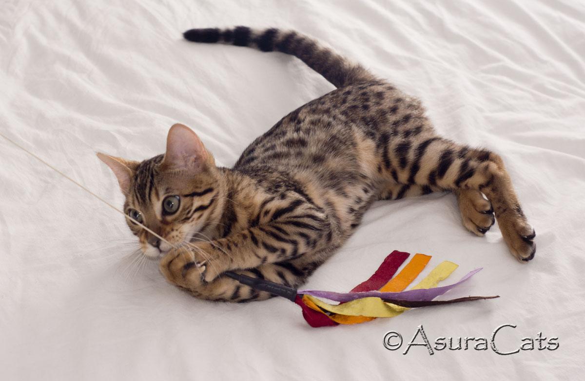 AsuraCats Cutie - Brown rosetted girl