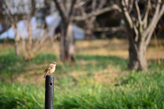 ジョウビタキ1 Daurian Redstart