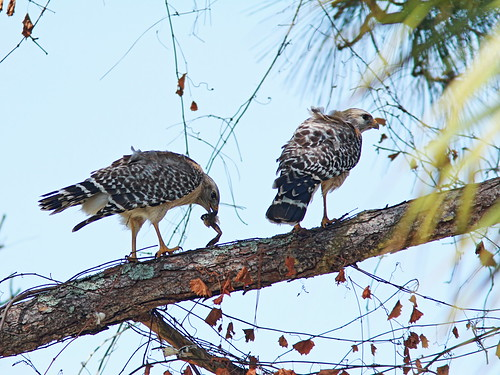 Red-shouldered Hawks 20150222