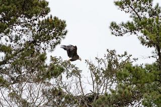 Eagle Spotting - XXXVII