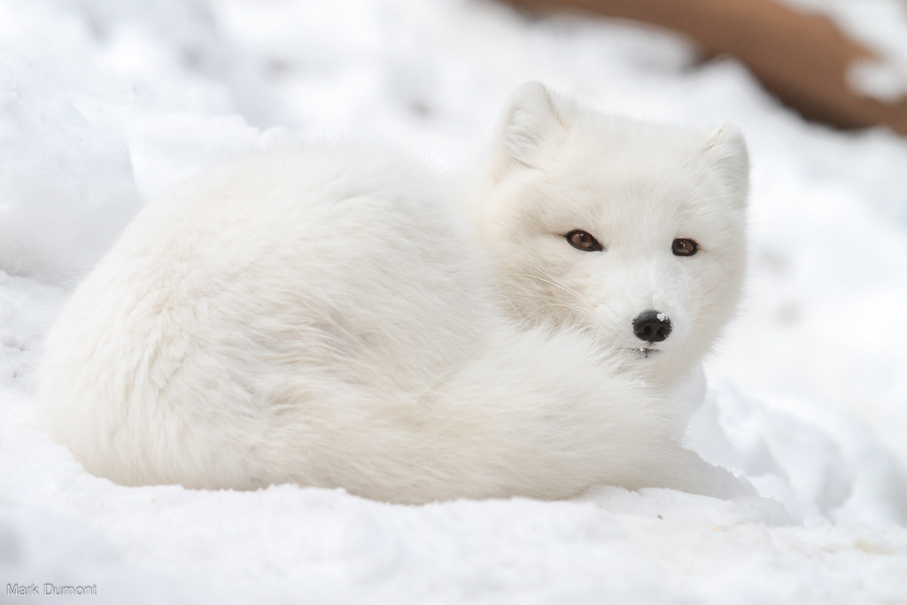 Arctic Fox With Snow on Nose