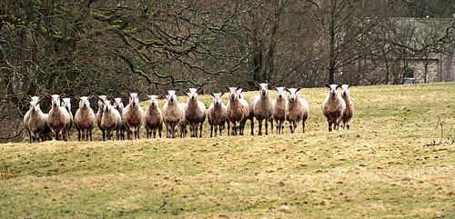 blue faced leicester sheep wool flock mob trough bowland bluefaced hexham longwool breed robert bakewell dishly photofunnies olympusmzuikoed75300mmf4867 farm lancashire lancs
